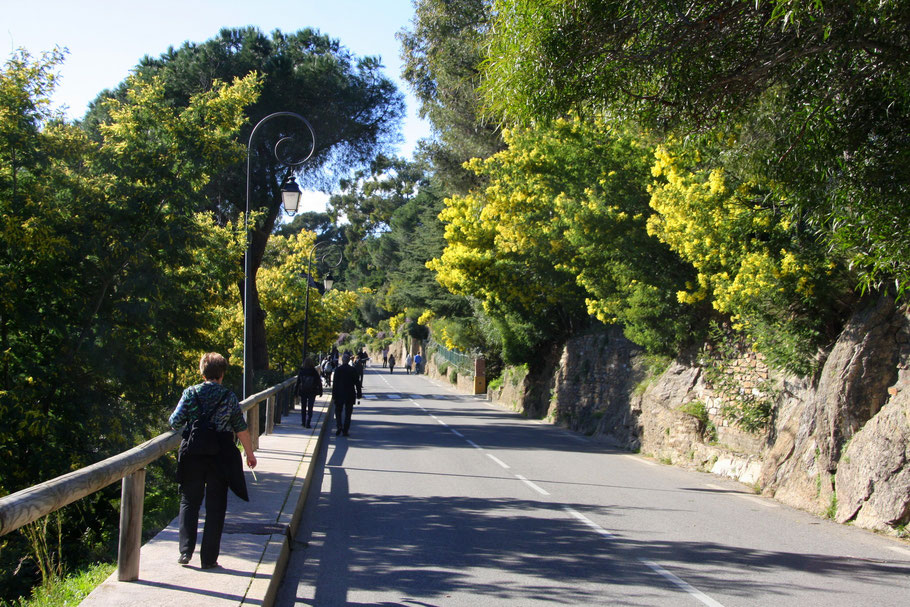 Bild: in den Straßen von Bormes-les-Mimosas im Februar zur Mimosenblüte
