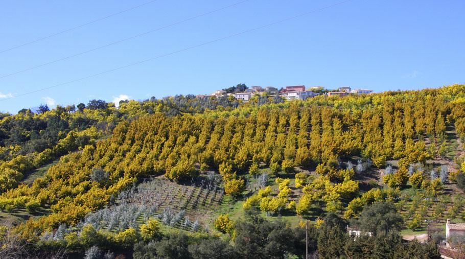 Blick: Mimosen- und Eukalyptusplantage