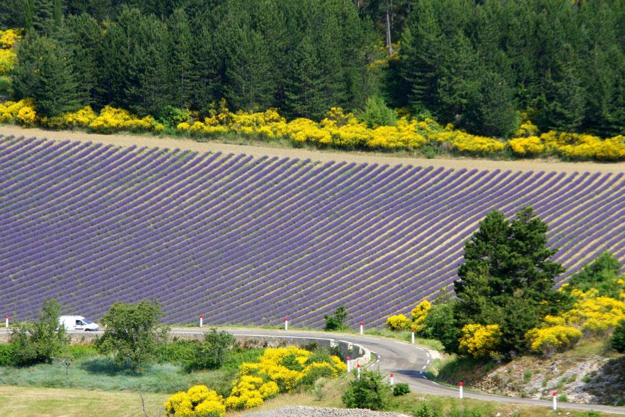 Bild: Lavendelroute hier Lavendelfeld mit Ginster umgeben bei Aurel