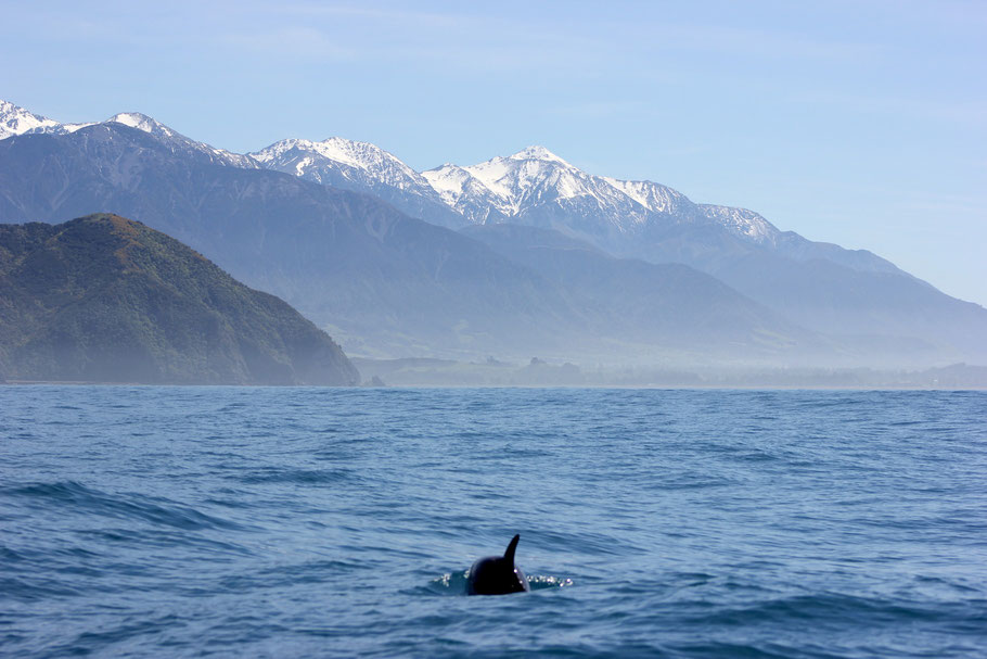 Hector dolphin Kaikoura with view on the mountains