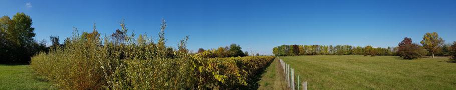Parcelle de vigne entourée de haie - Le saule Salix viminalis compagnon de la vigne pour ses brins flexibles qui ont longtemps servis à l'attache de la vigne