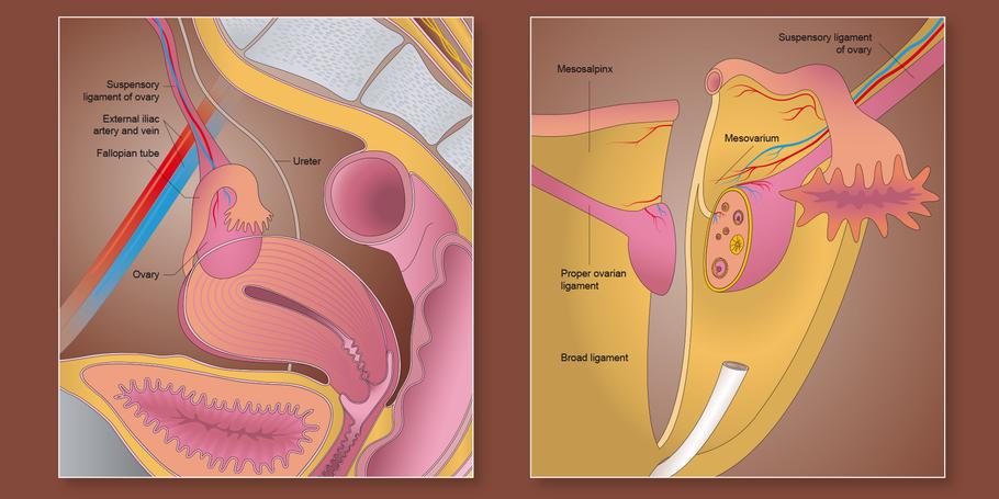 Lage und Darstellung der Ovarien