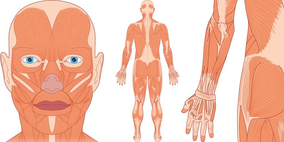 Gesichtsmuskeln Rückenmuskeln