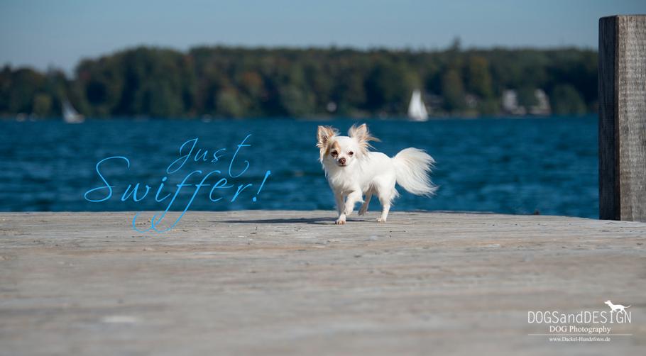 Chi-Love.de  | Die Seite für Chihuahua-Eltern! | BLOG | Magazin | Swiffer Chihuahua - Just Swiffer!