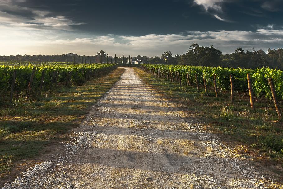 Impianti vigneti a spalliera tecnologia in viticoltura e for Barbatelle di vite