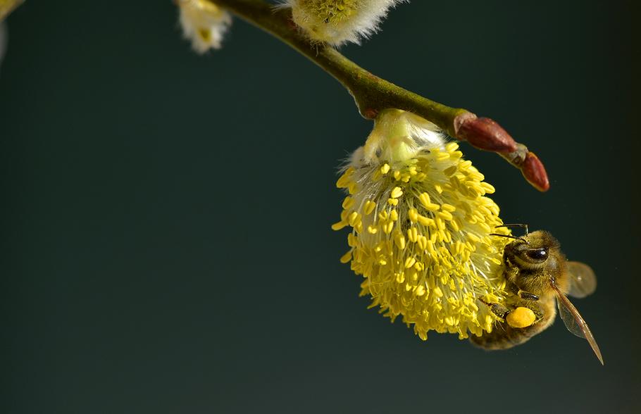 Biene auf Weidenkätzchen mit dicken Pollenröschen
