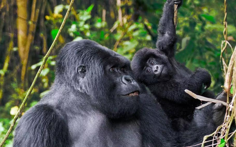 mountain-gorilla-trekking.jpg