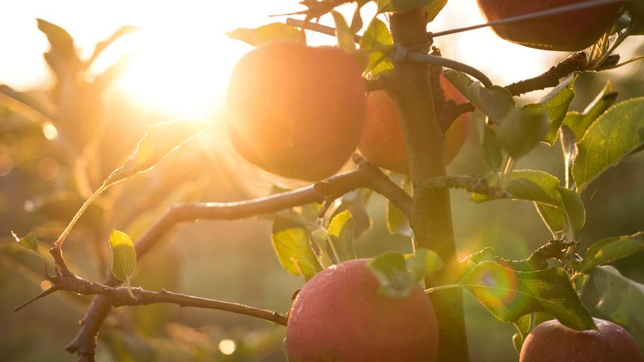 Apfelanlage im Gegenlicht