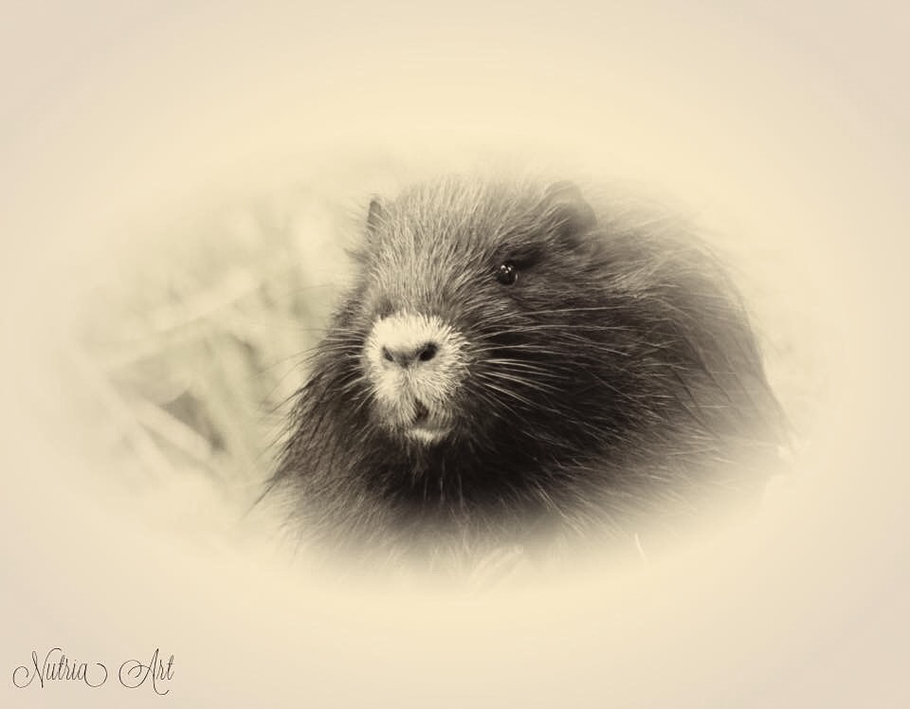 Nutria Portrait paint