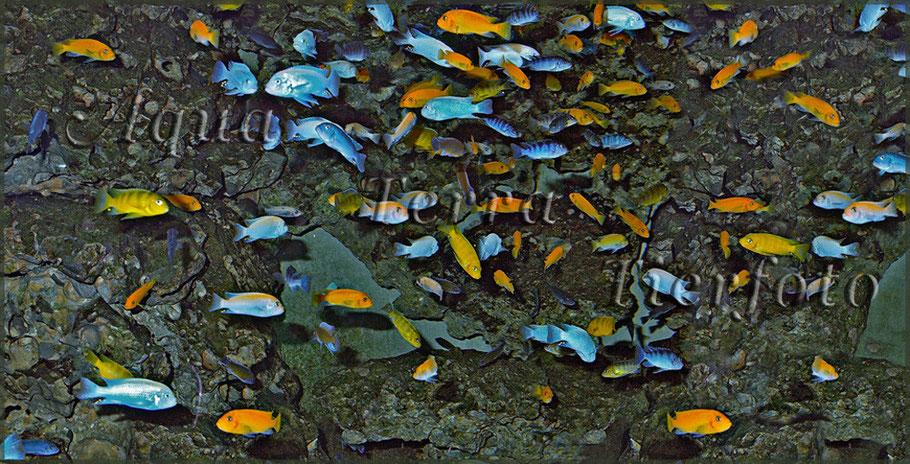 Malawisee-Buntbarschgesellschaft_2410 x 1181 px