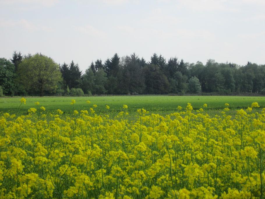 Dies ist kein Rapsfeld, sondern eine Zwischenfruchtmaßnahme unseres Landwirts, der dort eine Blühmischung aus Rübsen, Senf usw. ausbrachte.