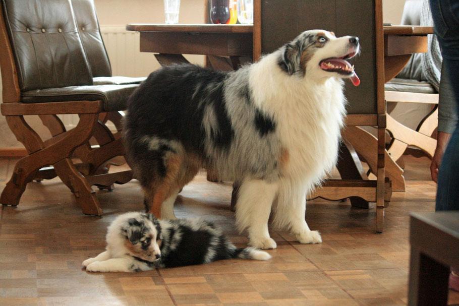Boom mit seiner Tochter Paige - bred by Marika Bartiromo / Moonwalk Aussies