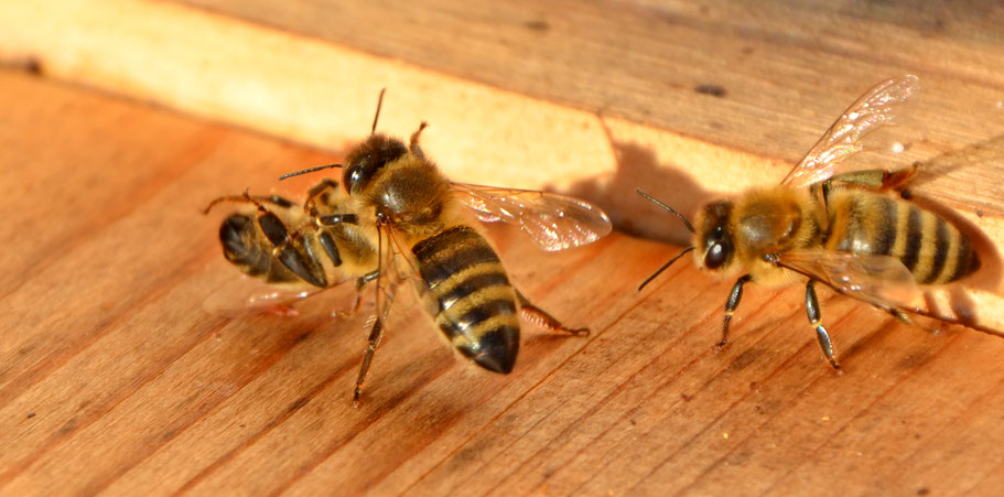6. Jänner 2018: Bienen beim Putzen