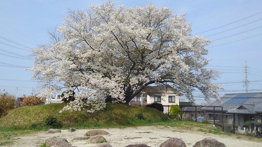 大久手4号墳の桜