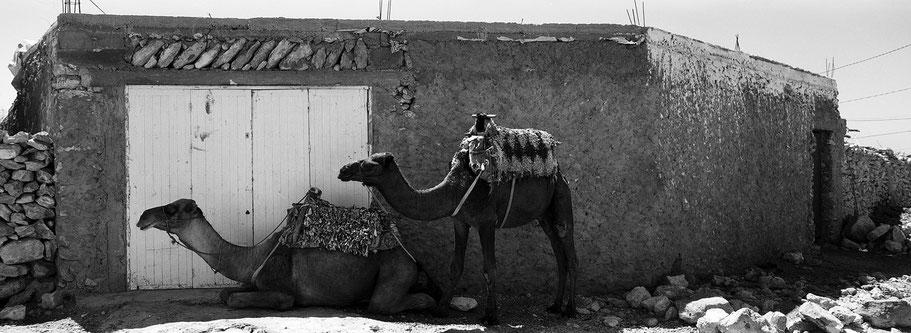 Zwei Kamele unweit des Strands von Sidi Kaouki, Marokko, in schwarz-weiß als Panorama-Photographie