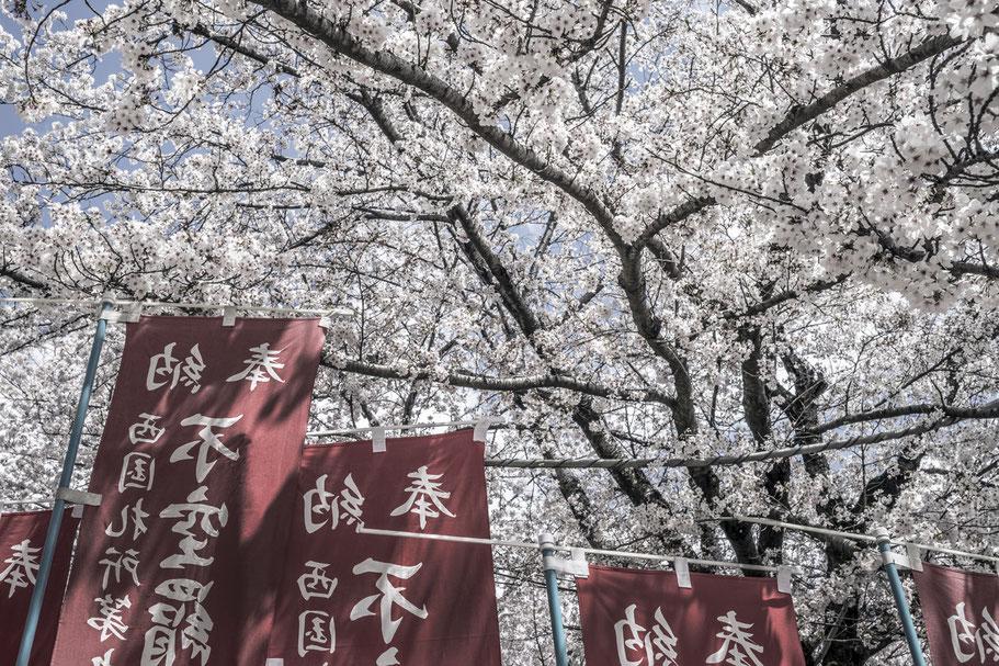 Kirschblüten in Nara als Farb-Photographie, Japan