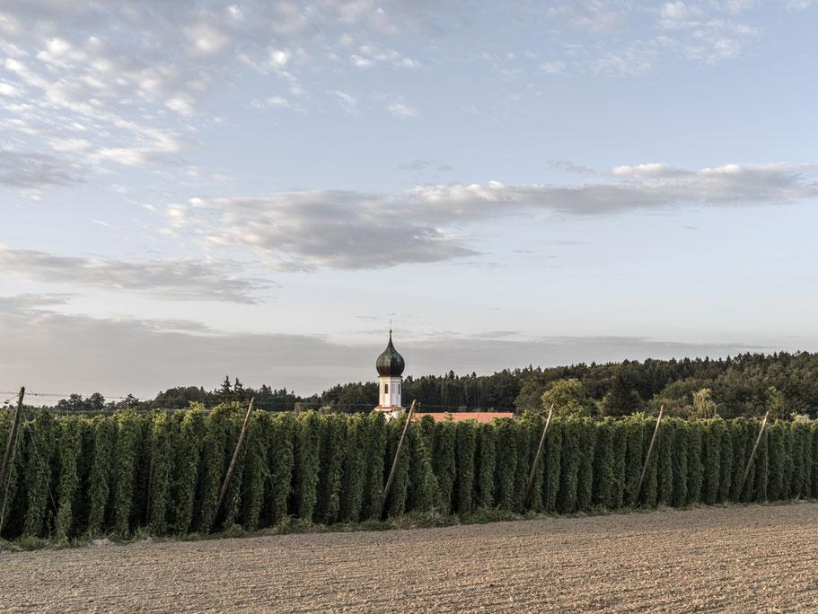 Hopfen und Wallfahrtskirche Mariä Geburt bei Lohwinden in der Hallertau – Bayern, Deutschland – als Farbphoto