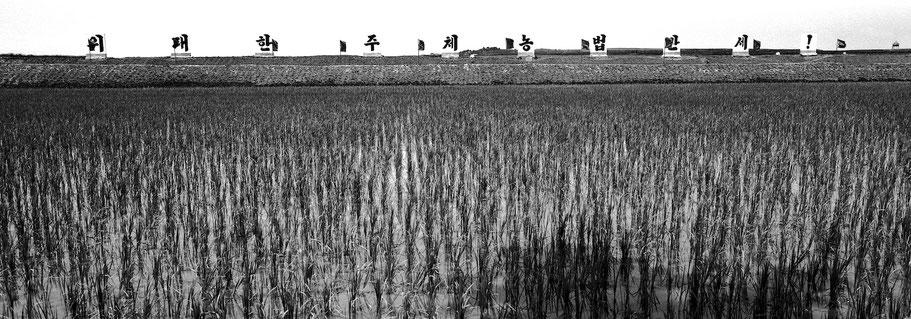 "Reisfeld in Nord Korea mit Propaganda ""Lang lebe Juche Anbau"" in schwarz-weiß als Panorama-Photographie"