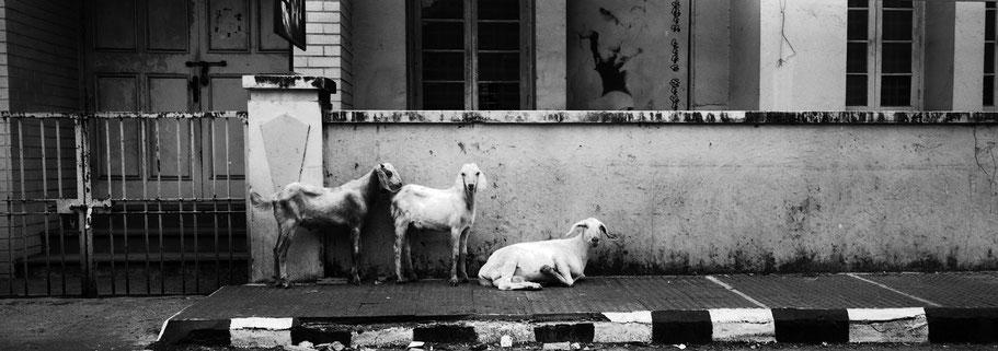 Ziegen und Schafe auf der Straße in Kochin, Indien, in schwarz-weiß als Panorama-Photographie