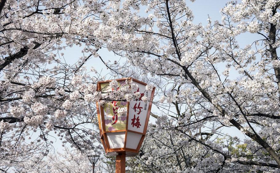 Die Kirschblüte Sakura im Maruyana koen Park in Kyoto  als Farb-Photographie, Japan