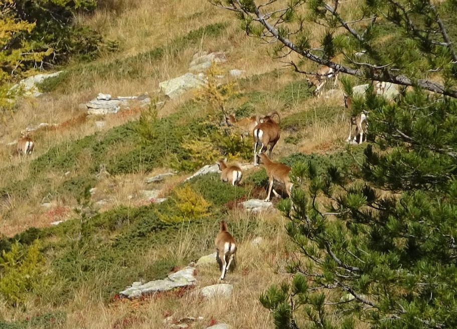 Mouflons au lac Graveirette