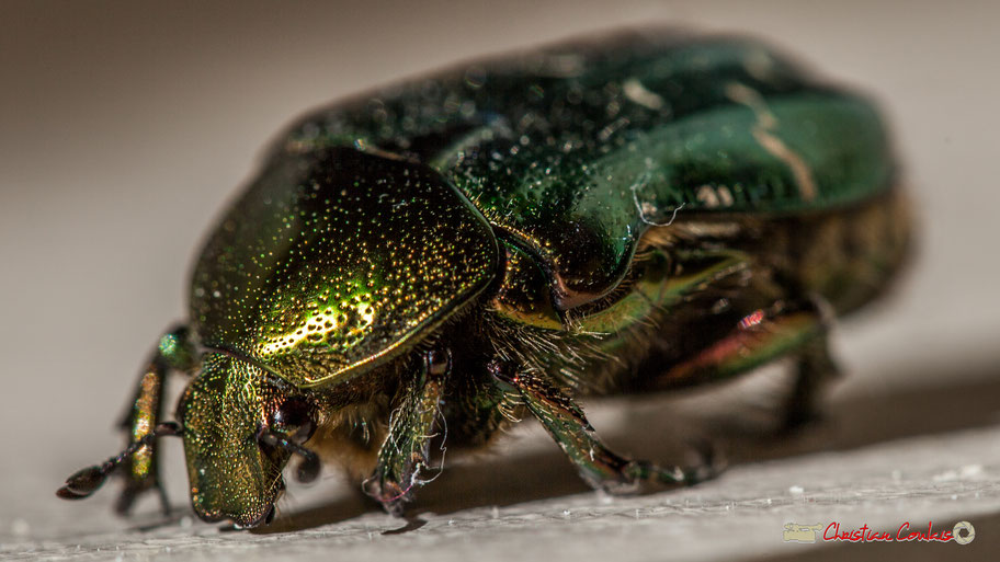 Cétoine dorée (Cetonia aurata), ou « Hanneton des roses » est un insecte coléoptère de la famille des Cetoniidae. Photographie Christian Coulais