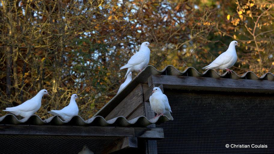 Les pigeons, Elevage des Barthes, Camarsac