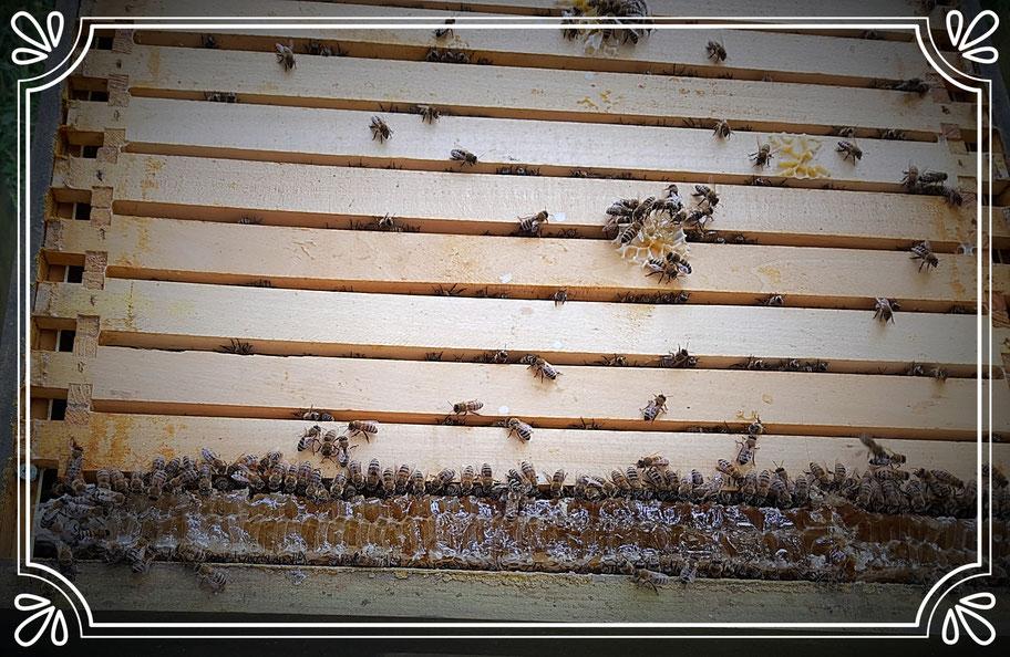 Honigzarge US Dadant