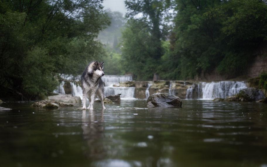 Malamute steht vor einem Wasserfall im Fluss auf einem grossen Stein. Es regnet.