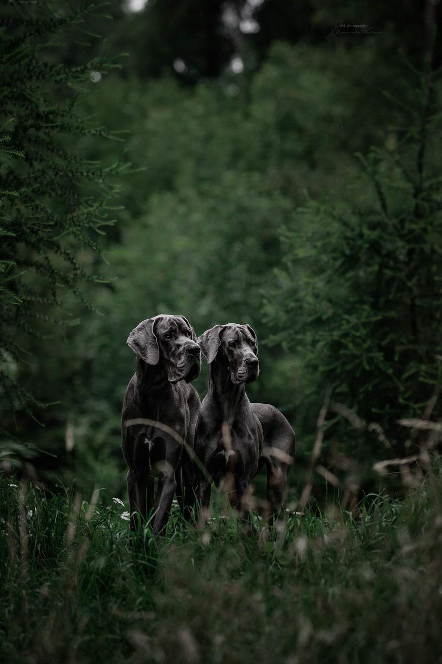 Zwei blaue Doggen stehen zwischen ein paar Tannen auf einer Waldlichtung. Es ist düsteres Wetter und das Fell der Doggen leuchtet.