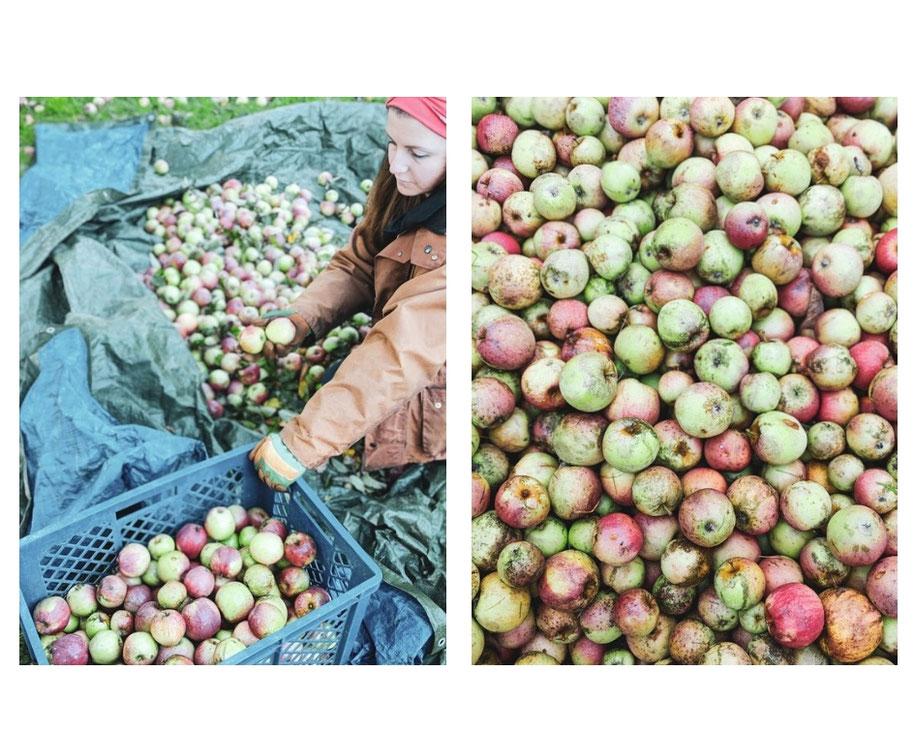 Apfelmost Apfelernte