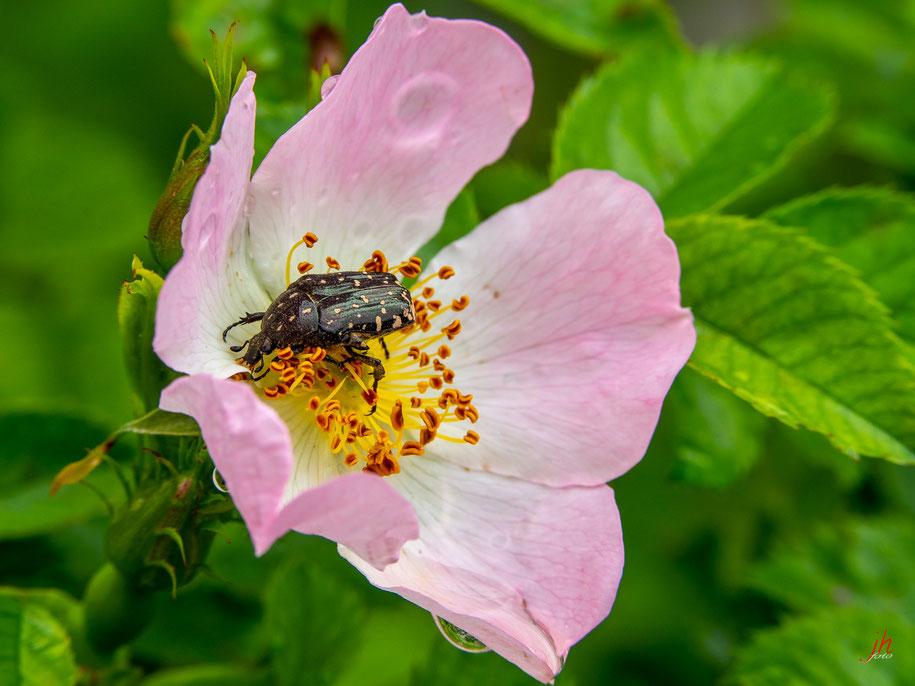 Die Blume kenn ich wohl (Rosa canina, Hagebutte) allein des Käfers Name ist mir nicht bekannt (sehr frei nach Faust, lieber Herbert;) Trauer-Rosenkäfer? (Oxythyrea funesta)