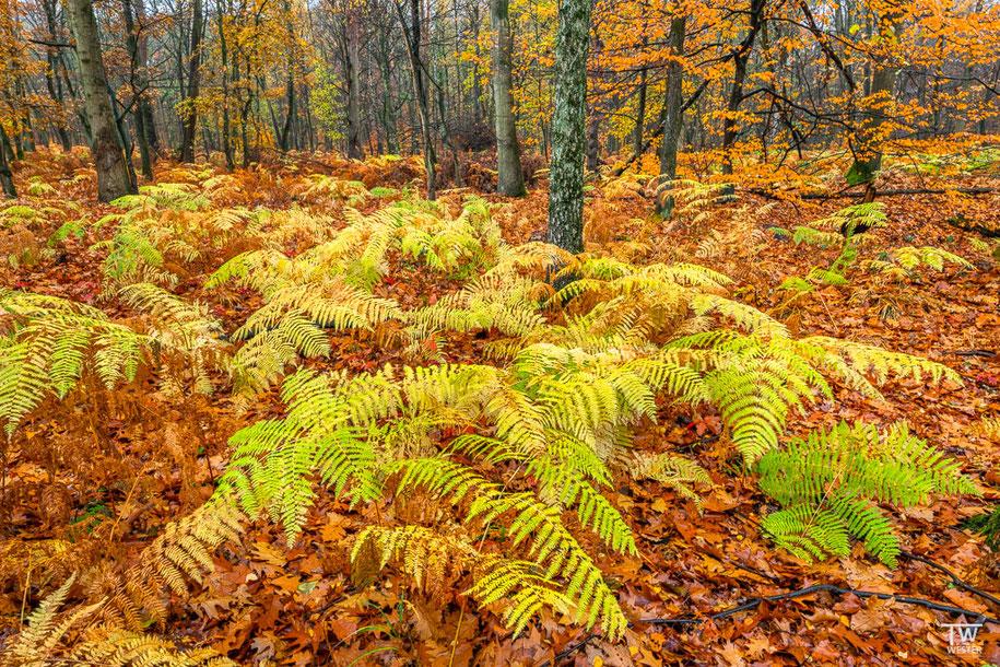 Die Wälder der Umgebung sind mit etlichen Farnen bestückt… (B1522)