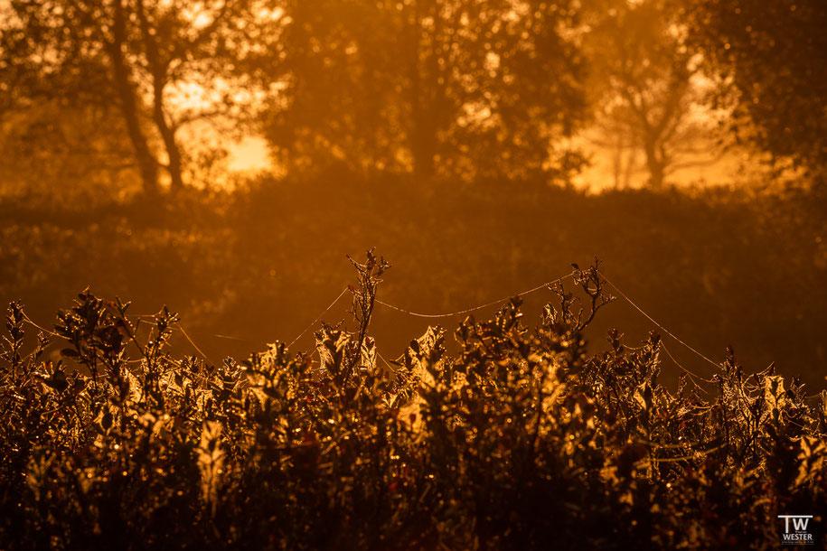 Im Frühnebel erkennt man, dass beinahe die gesamte Heide mit Spinnennetzen überzogen ist (B1413)