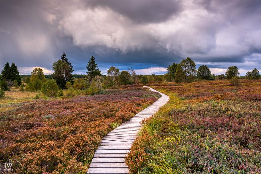 Viele Heidepflanzen erleben den Höhepunkt der Herbstfärbung bereits im Spätsommer (B1417)