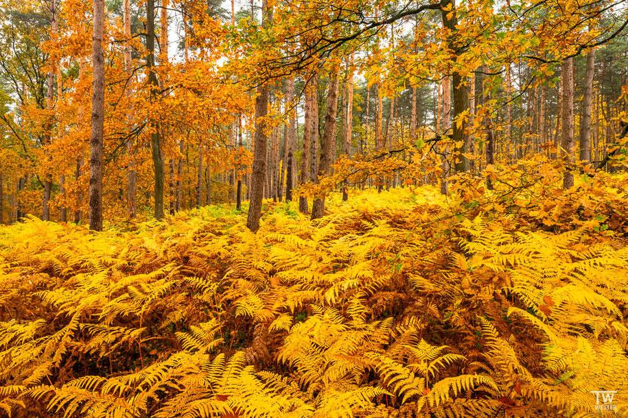 In den ersten Tagen gab es die Farne großflächig in gelben Farbtönen (B1517