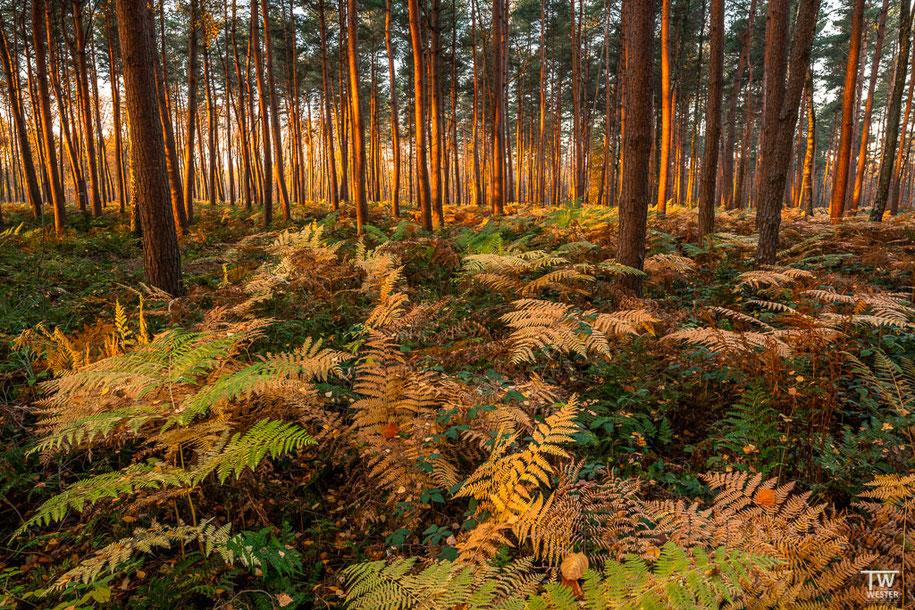 Besonders angetan haben es mir die Wälder der Umgebung. Sie waren mit Brombeeren durchzogen und daher recht schwer begehbar… (B1520)