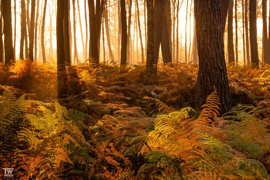 An diesem Morgen schien die Sonne durch den leichten Nebel, der sich am Waldrand bildete… (B1507)