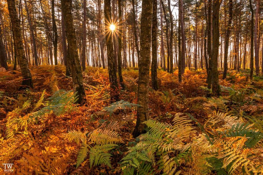 Der Sonnenstern erscheint zwischen den Birken… (B1506)