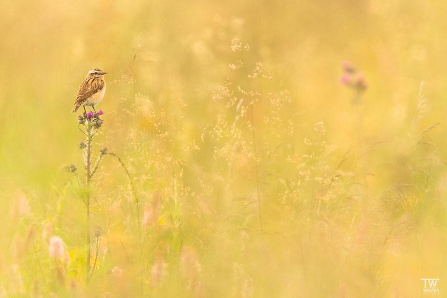 Die Naturwiesen sind herrlich anzuschauen (B1369)