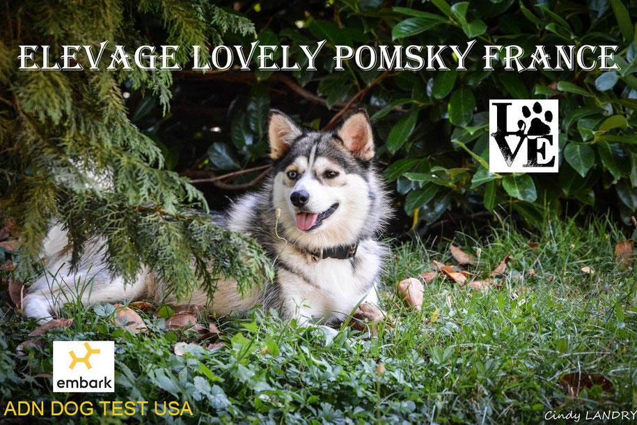 Joyce Femelle Pomsky Adulte