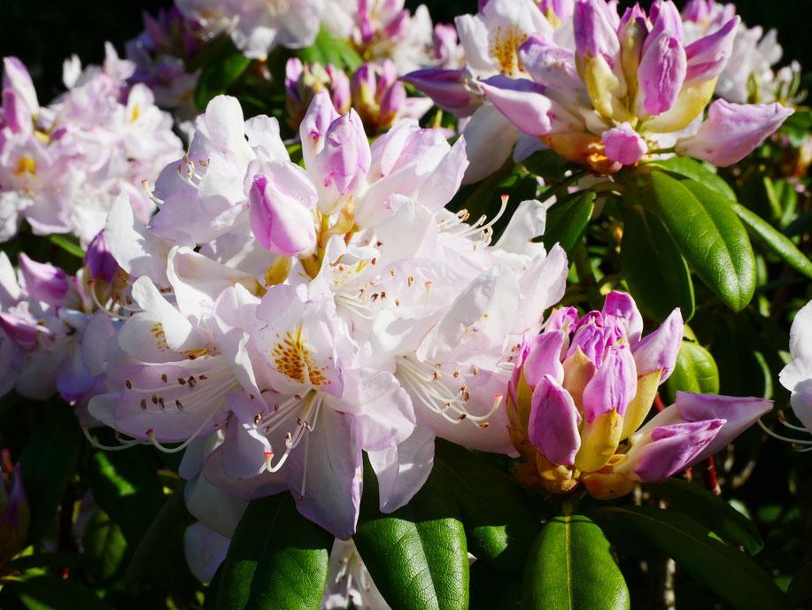 Blüten von rot-weißem, rosa Rhododendron