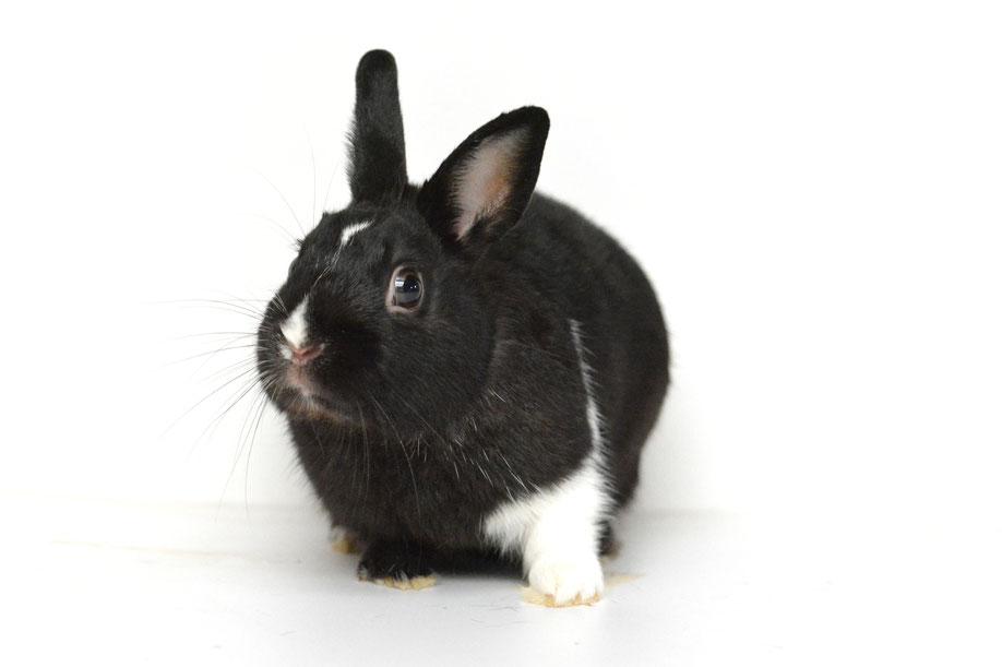 Konijnenopvang; knaagdierenopvang; afstand doen; adopteren; ter adoptie; konijn; konijnen; hamster; gerbils