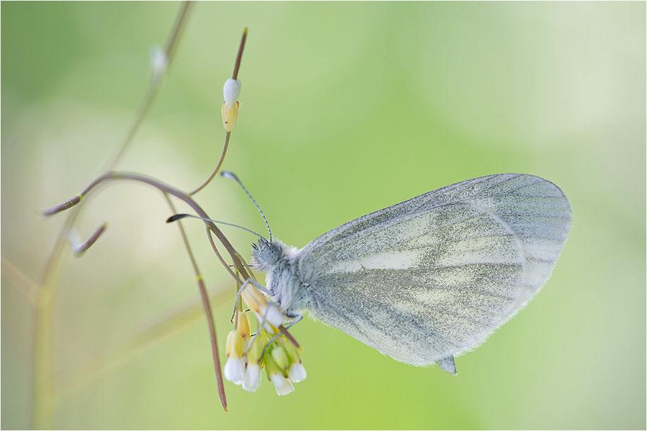 Leptidea reali, Leptidea juvernica - Leguminosen-Weißling, Tintenfleck-Weißling