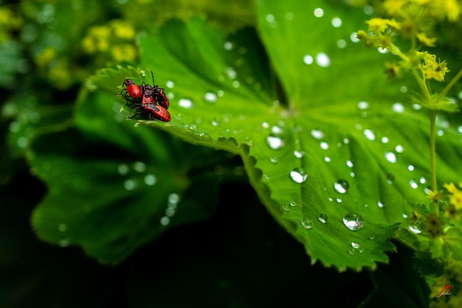 Feuerwanzengedränge ( Pyrrhocoris apterus, wenns stimmt ;)