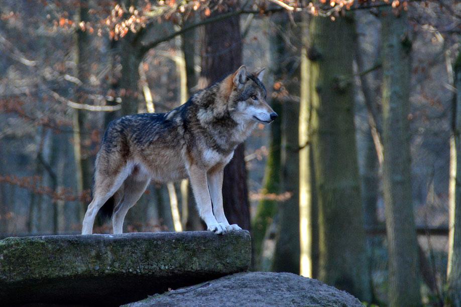Ein Wolf im Wildpark Alte Fasanerie Klein-Auheim (Foto: Andrea Kammer)