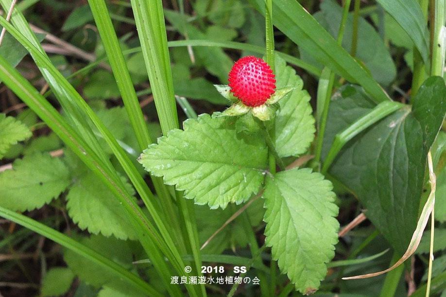 渡良瀬遊水地に生育しているヤブヘビイチゴの実の画像