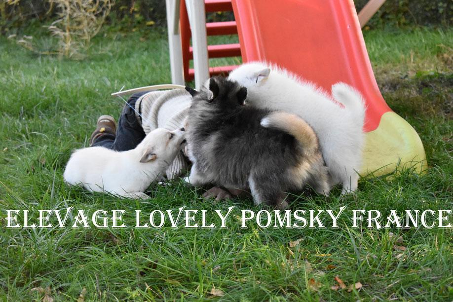 Nos bébés Pomsky qui jouent avec notre fils