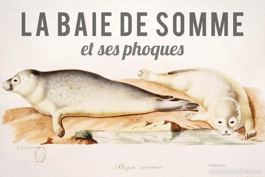 Baie de Somme, phoques