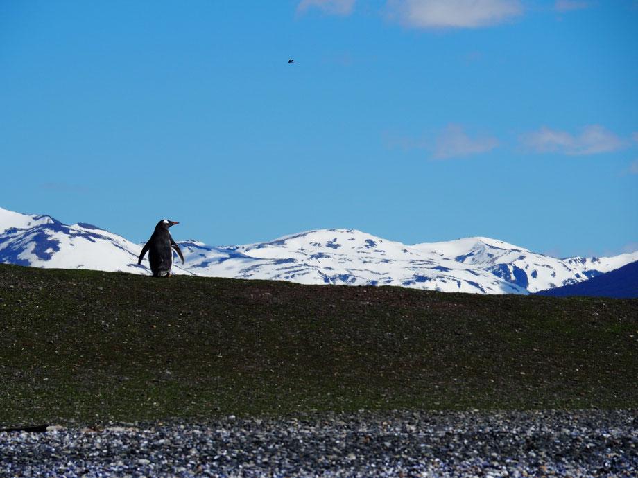 Brillenpinguine findet man auf der Pinguininsel genauso wie Magellan-, Humboldt- oder sogar – mit etwas Glück – Königspinguine